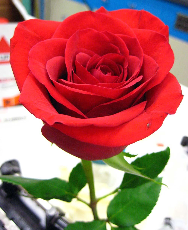 Freezing A Rose